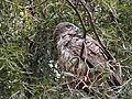 Short-toed Eagle 05.jpg