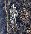 Sichuan Treecreeper (8077153532) (cropped).jpg