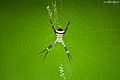 Signature Spider - Argiope anasuja.jpg