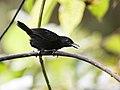 Sipia berlepschi - Stub-tailed Antbird - male (cropped).jpg