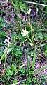 Sisyrinchium-albidum.jpg