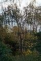 Sjambok Tree (3473031270).jpg