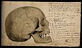 Skull; side view; pen and ink with sepia wash, by C. Landsee Wellcome V0008251.jpg