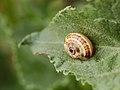Sleeping snail (5659039920).jpg