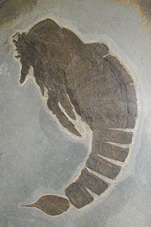 <i>Slimonia</i> Extinct genus of arthropods