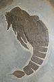 Slimonia acuminata 1.jpg