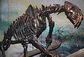Smilodon californicus saber-toothed tiger (La Brea Asphalt, Upper Pleistocene; Rancho La Brea tar pits, Los Angeles, southern California, USA) 4 (15443292605).jpg