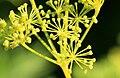 Smyrnium-perfoliatum-flowers.jpg