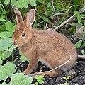 Snowshoe Hare (Lepus americanus) - Gros Morne National Park, Newfoundland 2019-08-20.jpg