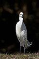 Snowy Egret (3443839456).jpg