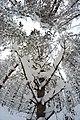 Snowy Trees - panoramio (1).jpg