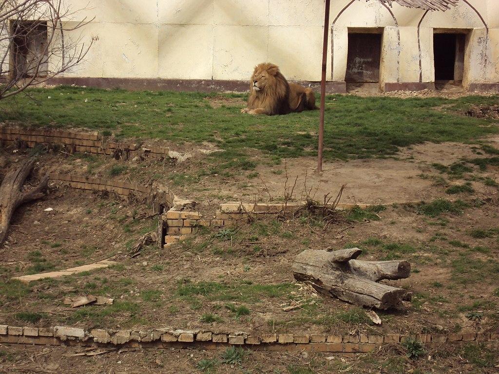Sofia Zoo - Lion 005