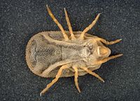 Soft tick, carios kelleyi.jpg