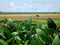 Soja Intacta. Fazenda Três Barras Vinagre. - panoramio.jpg