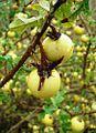 Solanum linnaeanum - Fruits.jpg