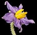 Solanum terraneum - Flickr - Kevin Thiele.jpg