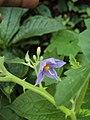 Solanum violaceum 31.JPG