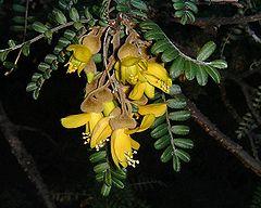 Sophora denudata (flowers)