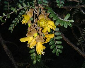 fleurs du sophora du japon