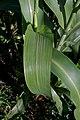 Sorghum bicolor leaf (01).jpg
