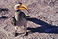 Southern Yellow-billed Hornbill.jpg