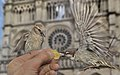 Sparrows being fed in front of Notre-Dame Cathedrale.jpg