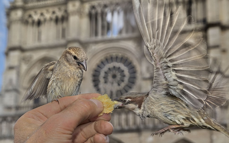 Sparrows being fed in front of Notre-Dame Cathedrale