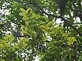 Spathodea campanulata P. Beauv.jpg
