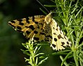 Speckled Yellow moth. Pseudopanthera macularia (31077009148).jpg