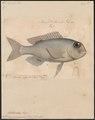 Sphaerodon grandoculis - 1700-1880 - Print - Iconographia Zoologica - Special Collections University of Amsterdam - UBA01 IZ13100059.tif