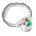 Sphenoid bone and zygomatic bone - lateral view2.png