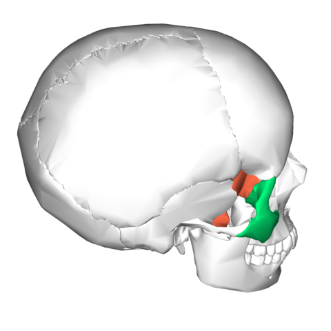 file:sphenoid bone and zygomatic bone - lateral view2, Human Body