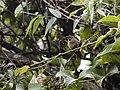 Sphenopsis ochracea - Western Hemispingus.jpg