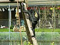 Spider Monkey at The Curraghs Wildlife Park, Ballaugh - geograph.org.uk - 56917.jpg