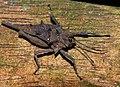 Spiky Grouse Locust (Discotettix belzebuth) (15602101175).jpg