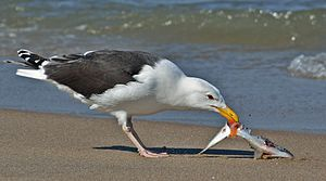 Great black-backed gull - Adult Larus marinus picking on fish, Sandy Hook, New Jersey, USA.