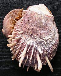 Spondylus sp.jpg