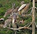 Spot-billed Pelican (Pelecanus philippensis) feeding in Uppalapadu, AP W IMG 5077.jpg