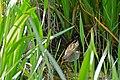 Spotted Crake (Porzana porzana) (25921346733).jpg
