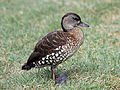 Spotted Whistling Duck RWD2.jpg