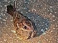 Square-tailed Nightjar (Caprimulgus fossii) (6045385993).jpg