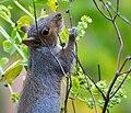 Squirrel Ii (253953213).jpeg