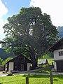 St-Ramsau-Bergahorn-4.jpg