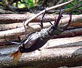 Stag Beetle on deadhedge in Gunnersbury Triangle.jpg