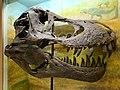 Stan Skull Tyrannosaurus rex.jpg