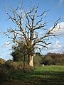 Standing deadwood - geograph.org.uk - 1588782.jpg