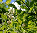 Staphylea pinnata Prague 2014 3.jpg