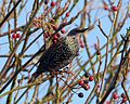Starling. Sturnus vulgaris - Flickr - gailhampshire.jpg