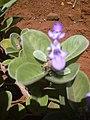 Starr-030731-0054-Vitex rotundifolia-habit-Uprange-Kahoolawe (24009954373).jpg