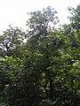Starr-030807-0172-Syzygium malaccense-habit-Hana Hwy-Maui (24638695195).jpg